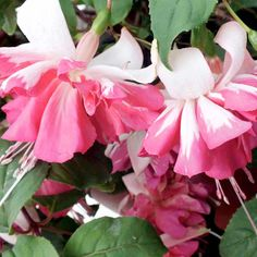 Fuchsia Plants - Gummiberry - Suttons Seeds and Plants