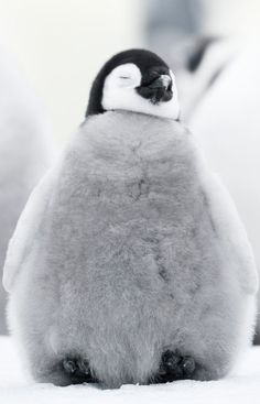 More than a decade after March of the Penguins hit theaters, filmmaker Luc Jacquet returned to Antarctica to tell a new story about these amusing, majestic March Of The Penguins, Baby Penguins, Zoo Animals, Animals And Pets, Penguin Love, Emperor Penguin, Cute Little Animals, Animal Kingdom, Pet Birds
