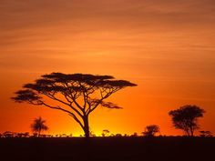 tall tree and man silhoette | Photo: Silhouette of a tree in front of a sunrise
