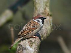 Just sold! Eurasian tree sparrow (Passer montanus)   Stock Billede   Colourbox on Colourbox