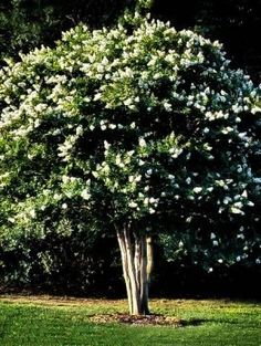 Crape Myrtle, Crepe Myrtles | The Tree Center™