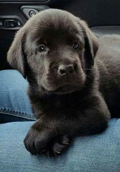 Beautiful Black Lab Pupster #LabradorRetriever
