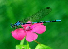 #dragonfly // #pink #flower