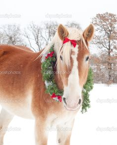 Image detail for -Handsome Belgian Draft horse wearing a Christmas wreath in light ...