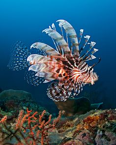 Lionfish are BEAUTIFUL fish. Their spikes are venomous and are a warning to predators. Learn more about Lionfish in our upcoming video! Underwater Creatures, Underwater Life, Beautiful Sea Creatures, Animals Beautiful, Fauna Marina, Life Under The Sea, Salt Water Fish, Water Animals, Beautiful Fish