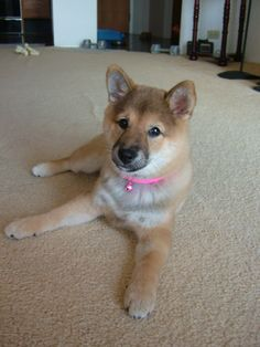 Here is Shiba Inu puppy, Kitsune at 4 months old. Love Shiba Inus? Learn more about this breed at www.myfirstshiba.com