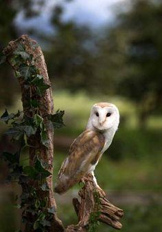 "Simple Pleasures — megarah-moon: ""Barn Owl"" by Trev Wilson Owl Photos, Owl Pictures, Beautiful Owl, Animals Beautiful, Owl Bird, Pet Birds, Tyto Alba, Mundo Animal, Snowy Owl"