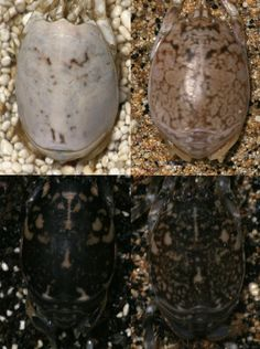 Sand fleas have ability to change color in order to match dramatically different backgrounds