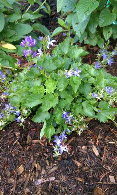 June 27: Campanula poscharskyana 'Blue Waterfall' (Siberian bellflower)