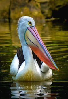 Australian Pelican / Pelikan australsky Zlin p by Pavel Russe / Pretty Birds, Beautiful Birds, Animals Beautiful, Cute Animals, Beautiful Pictures, Exotic Birds, Colorful Birds, Sea Birds, Wild Birds