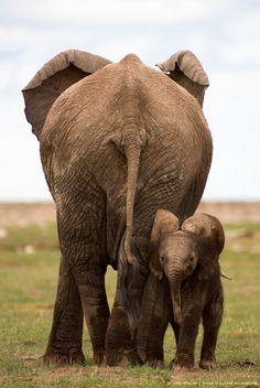 Elephant (Loxodonta) calf with mother, Amboseli National Park, Kenya