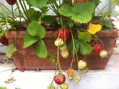 Erkélyládáinkat nem csak egynyári növények beültetésére használhatjuk. Ültessünk bele bátran fűszernövényeket, alacsony növésű paprikát vagy szamócát!