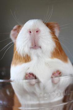 Butterscotch the Guinea pig, a different perspective. Facebook.com/guinea pig zone