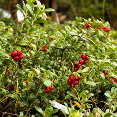 ... cranberry, nutritious lingonberries are jam-packed with vitamins and