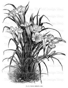 Freesia Refracta Alba Printable Vintage Flower by TheOldDesignShop