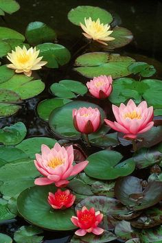 The Lotus flower is a metaphor for Buddhism/a metaphor for life- the muddy swamp is where the Lotus Flower blooms-(life's problems the mud-produce stunning beauty and breakthroughs with faith)