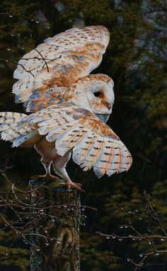 BEAUTIFUL BARN OWL ABOUT TO TAKE OFF!!
