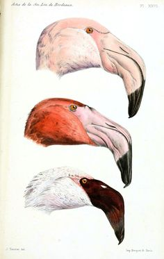 Vintage animal drawing; flamingo heads