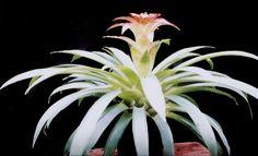 Guzmania Lingulata Hybrid | Guzmania lingulata var cardinalis