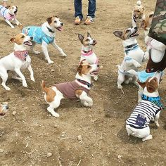 Check the link in @jackrussellmoments profile and choose your Jack Russell or hoodie! International shipping! To be featured⏩Start to follow us⏩Choose your best photo⏩Tag us #jackrussellmoments Reposted from: @sumikun617