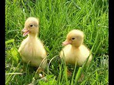 Baby ducks are so cute! Farm Animals, Cute Animals, Farm Unit, Farm 2, Little Duck, Baby Ducks, Farm Theme, Mellow Yellow, In Kindergarten