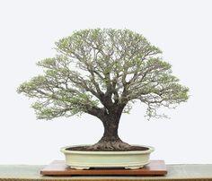 Wonderful tree and its ramification is superb. Photo by Bonsai Nguyen Van Sau. www.bonsaiempire.com #bonsai #workofart #art #inspirational #beauty #beautifulpictures