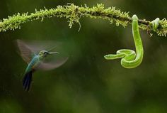 ecogeekery:  Hummingbird and snake face off!
