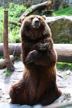 Brown Bear, Animals, Animais, Animales, Animaux, Animal, Dieren