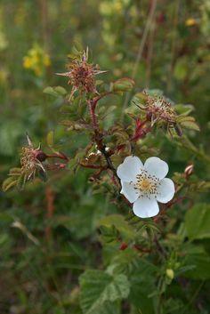 Rosa spinosissima (Burnet Rose) | Flickr - Photo Sharing!
