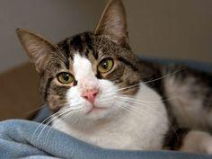 Cyrano-an-adoptable-cat-in-Boston