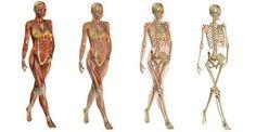 Женская мышечная анатомия системы - Скачивайте Из Более Чем 53 Миллионов Стоковых Фото, Изображений и Иллюстраций высокого качества. изображение: 51405110