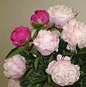 Fresh Cut Peonies, Arrowtown, New Zealand is dedicated to delivering these much revered blooms direct from the peony field to your doorstep. My Heart Is Breaking, Parfait, Peonies, Blush Pink, Floral Wreath, Bloom, Light Rose, Floral Crown, Flower Crowns