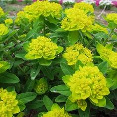 Euphorbia   Zone: 4-9  Care:  Grow in full sun to partial shade, in moist but well-drained soil. It self-sows regularly.  Propagation:  Sow seeds when ripe or in spring; divide in early spring. Height: 1 ft. to 3 ft. Spread: 1 ft. to 3 ft.