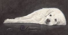 Coloured pencil drawing of Bayka the Slovensky Cuvac. Furry White Dog. https://sheldenefineart.com/