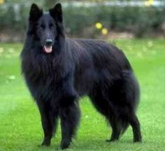 Belgian Sheepdog. They are members of the herding group. They are great sheep herders and livestock guardians. They stand at 22-26 inches at the shoulder and weigh about 45-65 pounds.