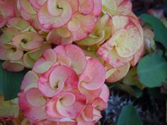 Crown of thorns Euphorbia Milii, Exotic Flowers, Beautiful Flowers, Crown Of Thorns, Hardy Plants, Shrubs, Planting Flowers, Christ, Cactus