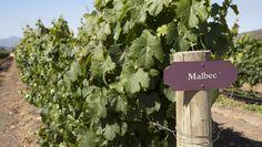 Uva Malbec - Sinônimo de vinho tinto argentino. Vinhos com cor vermelho púrpura, intensa, e aroma frutado. Geralmente, são vinhos jovens. No paladar, sente-se muito sabor e maciez, com aroma forte e frutado. Vai bem com carnes vermelhas.