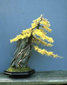 Larix laricina root-over-rock