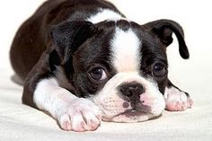 Boston Terriers... I want one!!