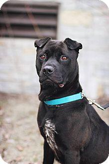 Minneapolis, MN - Shar Pei/German Shorthaired Pointer Mix. Meet Diamond a Dog for Adoption.