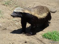 Honey Badger  by Laurens via flickr