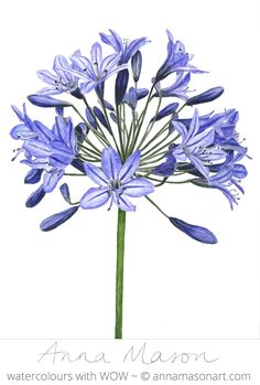 This elegant Agapanthus is now available as a step by step tutorial in my online School Easy Watercolor, Watercolor Cards, Watercolour Painting, Watercolor Flowers, Illustration Blume, Botanical Illustration, Botanical Flowers, Botanical Prints, Realistic Flower Drawing