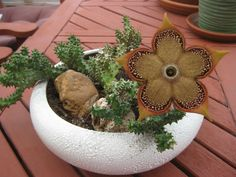 Edithcolea grandis (Persian Carpet Flower) is a succulent perennial with leafless and richly branched stems. The stems are sharp-toothed, 4 or 5 angled. Cacti And Succulents, Planting Succulents, Cactus Plants, Planting Flowers, Unusual Plants, Exotic Plants, Rock Garden Plants, House Plants, Cactus Y Suculentas