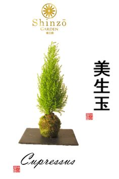 Kokedama Cupressus / Plantes / Moss Ball / Mousse /