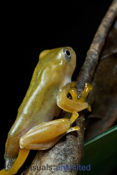 Young Reinwardt's Gliding Frog (Rhacophorus reinwardtii), Indonesia. Note remnants of the tail are still visible.
