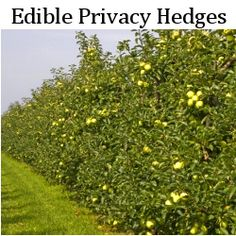 Even your garden hedges can be edible! Find out how to select shrubs for hedges in your edible landscape design. Shrubs For Privacy, Privacy Screens, Trimming Hedges, Garden Hedges, Planting Shrubs, Landscape Edging, Backyard Landscaping, Landscaping Ideas, Edible Garden