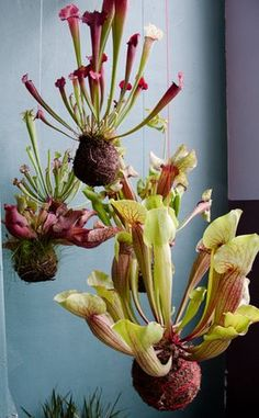 Kokedama - Carnivorous plants in a Japanese String Garden Air Plants, Garden Plants, Indoor Plants, House Plants, Cactus Plants, Fruit Garden, Potted Plants, Hanging Orchid, Hanging Plants
