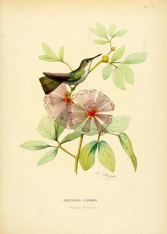 White-bellied emerald, Central America. Histoire naturelle des oiseaux-mouches, ou, Colibris constituant la famille des trochilidés, Martial Étienn Mulsant, 1874.