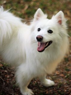 30 Excellent American Eskimo Dog Names [PICTURES is part of Excellent American Eskimo Dog Names Pictures Dogtime Com - Amazing photos of American Eskimo dogs and their names For those who need a little name inspiration or just love the breed American Eskimo Dog, Miniature American Eskimo, American Husky, Beautiful Dogs, Animals Beautiful, Cute Animals, Sweet Dogs, Samoyed Dogs, White Dogs