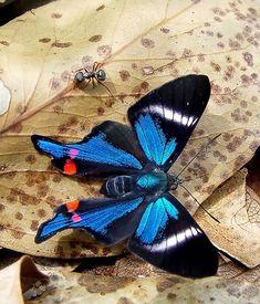 beautiful blue butterfly..